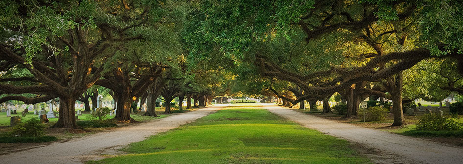 Oak tree driveway at Roselawn Memorial Park